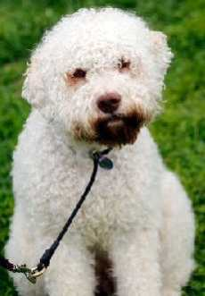 8 letter dog breeds breeds list l all breeds beginning with the letter l 10627 | 230xNxLagotto Romagnolo.jpg.pagespeed.ic.Tec0DGY8wp