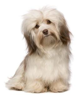 Havanese dogs come in a rainbow of colors