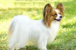 Papillon ~ The Butterfly Dog