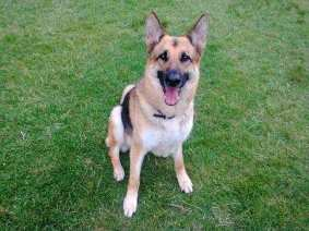 Kaiser, the German Shepherd Dog Rescued from an abusive situation.