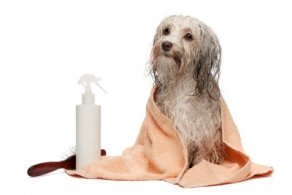 Havanese Dogs require a considerable amount of time devoted to grooming.
