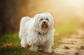 The Havanese, a dog without a care in the world.