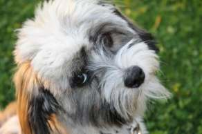 Havanese dogs have thick wavy or curly coats that will mat if not brushed. Matting is due to the hair shedding and becoming caught in the coat.