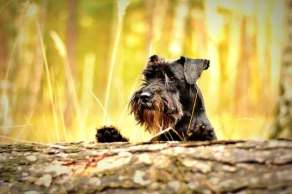 Miniature Schnauzers have a harsh, wiry coat that needs brushing three times a week  You can't classify them as completely non shedding, but they come really close!