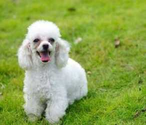All sizes of the Poodle have a thick, curly coat that needs daily attention. They are likely the most hypoallergenic breed with little to no shedding.