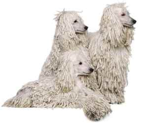 Three white standard poodles with corded coats.