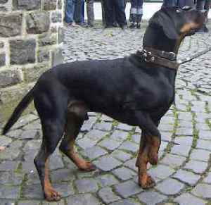 Austrian Black & Tan Hound