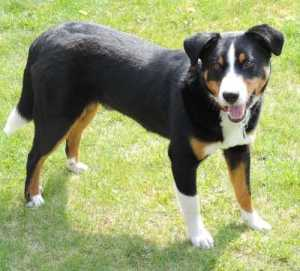 Appenzeller Cattle Dog