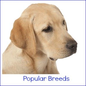 Medium Size Dog Breeds - A popular size dog that fits in well with many households.  Find out which breeds fit this catagory and why they're great