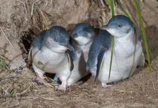 Little Penguins of Middle Island