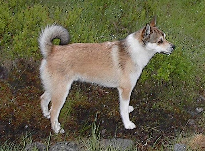 A Dog with Six Toes:  Norwegian Lunderhund