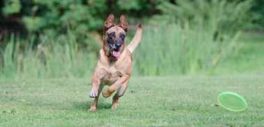 The Belgian Malinois is a very playful breed.