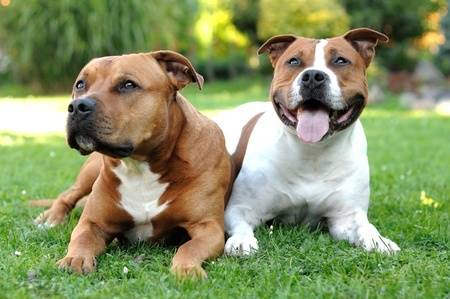 American Staffordshire Terrier, one of the Pit Bull Breeds