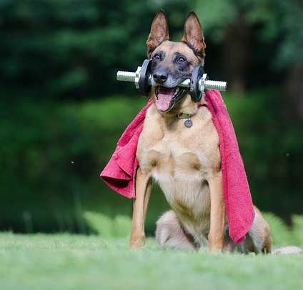 A Belgian Malinois dog can be trained to do tricks.
