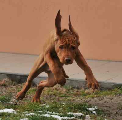 Vizsla, a dog breed that loves to run