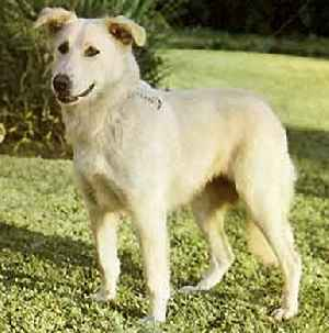 Aidi Dog Breed