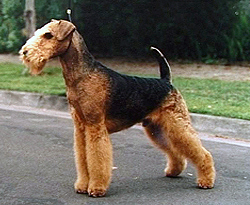 Airedale Terrier ~ The King of Terriers