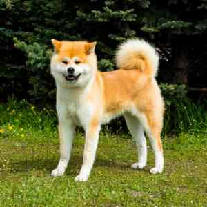 Dog American Akita / Great Japanese Dog two adults standing Stock ...