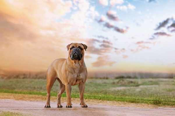 The American Bulldog, lovable and loyal but also a very powerful dog breed.