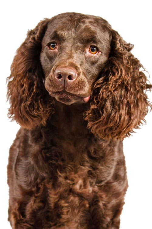 Are you curious about the American Water Spaniel? Click Here!
