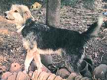 Armant (Egyptian Sheepdog)
