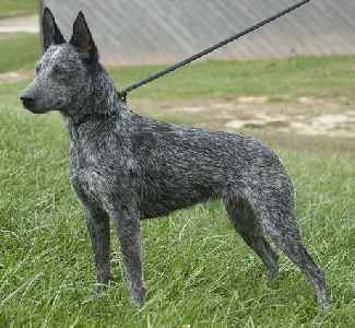 Australian Stumpy Tail Cattle Dog  (a.k.a. Stumpy Tail Cattle Dog)