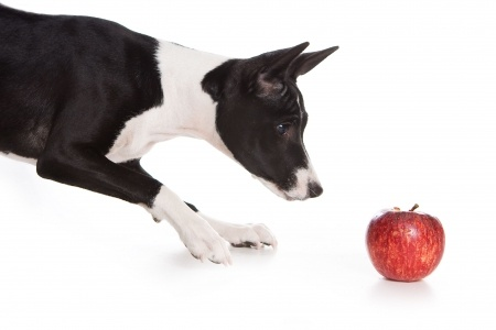Black and White Basenji sniffing an apple.