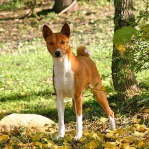 8 letter dog breeds breed list b all breeds beginning with the letter b 20287 | Basenji flickr