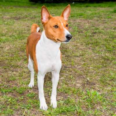 Here's an easy low shedding dog – The Basenji.  Just brush once a week and let the dog do the rest.