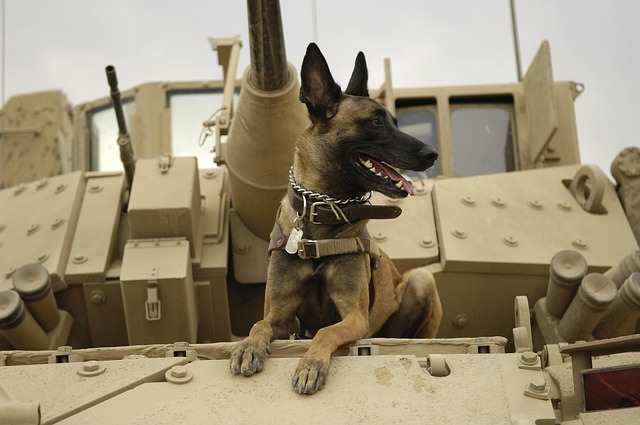 The Belgian Malinois Dog Breed is ideal for Military Work.