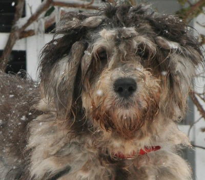 Bergamasco Shepherd Dog Breed