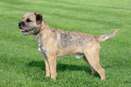 With a dense undercoat and a harsh outer coat Border Terriers stay dry and warm.  Without maintenance, their warm raincoat might not work. A non shedding small dog.