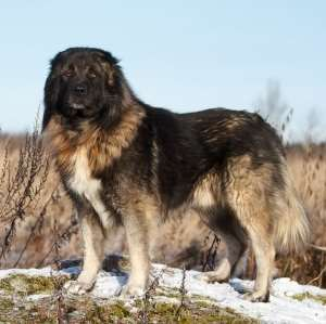 Caucasian Ovcharka (also called Caucasian Mountain Dog or Caucasian Shepherd Dog)