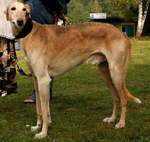 Chart Polski (AKA Polish Greyhound)