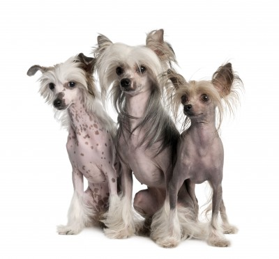 Chinese Crested, Hairless Variety
