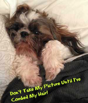 Shih Tzu dog is cuddled under the covers.