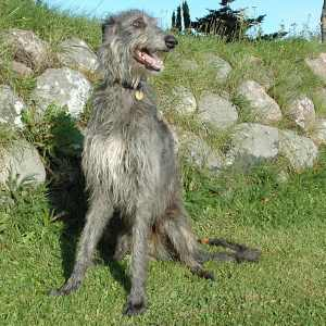 The Scottish Deerhound, a good choice when running with your dog.