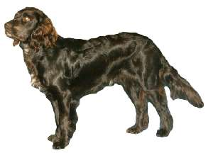 German Spaniel (a.k.a. Deutscher Wachtelhund, Deutscher Wachtel, German Quail Dog)