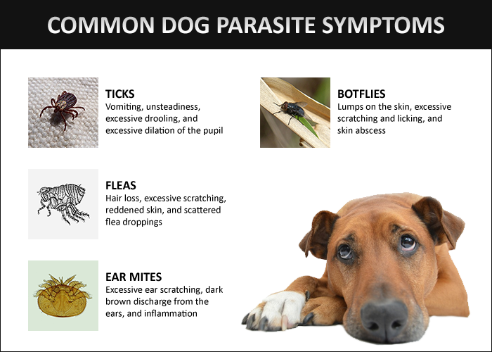 Desease Or Parasite You Can Get From Dogs