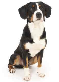 Entlebucher Mountain Dog(AKA Entlebucher Cattle Dog, Entlebucher Sennenhund)