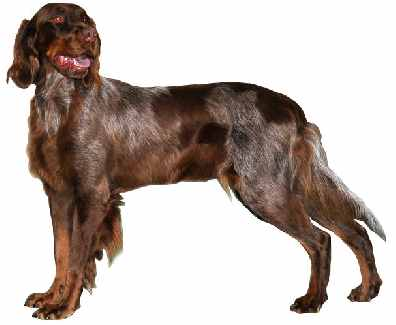 Picardy Spaniel (or Épagneul Picard)