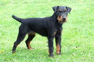 German Hunting Terrier (Jagdterrier)