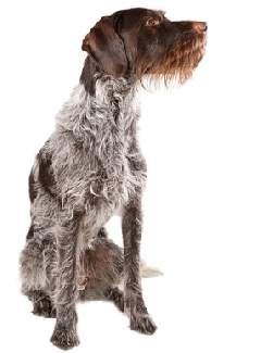 German Wirehaired Pointer (a.k.a. Deutsch Drahthaar, Deutscher Drahthaariger Vorstehhund, Drahthaar)