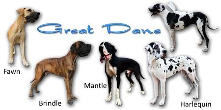Colors of the Great Dane