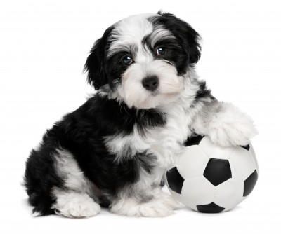 Little Havanese Puppies need exercise too.