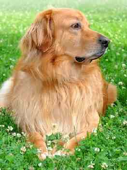 Large Dog Breeds Beginning With H