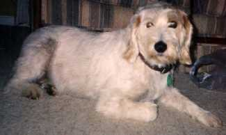 Istrian Wire Haired Hound (a.k.a. Istrian Coarse Haired Hound)