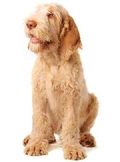 Italian Spinone (a.k.a. Spinone, Spinone Italiano, Italian Griffon, Italian Wire-haired Pointer, Italian Coarse-haired Pointer)