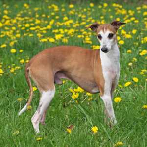 The Italian Greyhound has a short, soft and glossy coat that does not shed very much.