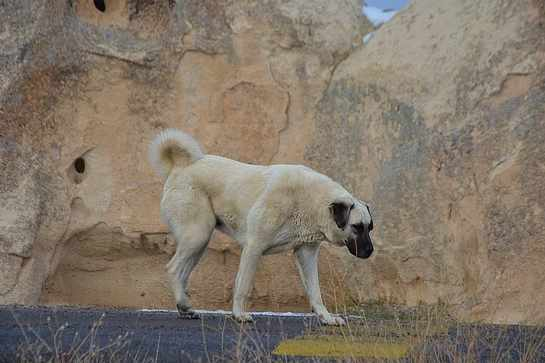 Kangal Dog Breed